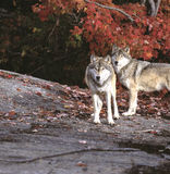 Timber wolves. Two timber wolves against red maple tree royalty free stock photo