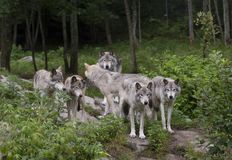 Timber wolves Canis lupus on rocky cliff in summertime Royalty Free Stock Image