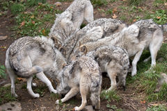 Timber wolves (Canis lupus) feeding. Timber wolves or grey wolves (Canis lupus) feeding in autumn in Canada royalty free stock images