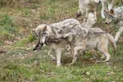 Timber wolves fighting Royalty Free Stock Photos