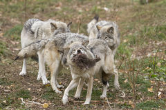 Timber wolves fighting Stock Photography