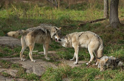Timber wolves greeting Stock Photo