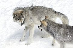 Timber wolves or Grey wolves Canis lupus on white background walking in the winter snow in Canada royalty free stock photography