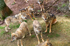 Timber Wolves Royalty Free Stock Photo