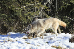 Timber wolves hunting by forest. During winter royalty free stock images