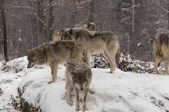 Timber wolves at play in winter stock photo