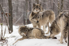 Timber wolves at play in winter. Snow Stock Photos