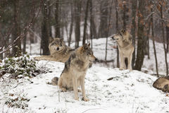 Timber wolves at play in winter stock images