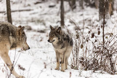 Timber wolves at play in winter royalty free stock images