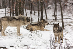 Timber wolves at play in winter. With snow Stock Image