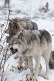 Timber wolves at play in winter Royalty Free Stock Photography