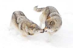 Timber wolves or grey wolves (canis lupus) playing in the snow on a winter day in Canada royalty free stock photos