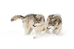 Timber wolves (Canis lupus) playing in the snow on a winter day Royalty Free Stock Photos