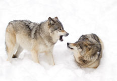 Timber wolves (Canis lupus) playing in the snow on a winter day. Timber wolves (Canis lupus) playing in the snow on a winter day Royalty Free Stock Photos