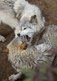 Timber wolves playing Royalty Free Stock Photo