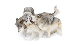 Timber wolves Royalty Free Stock Photography