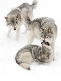 Timber wolves (Canis lupus) playing in the snow on a winter day Royalty Free Stock Photo