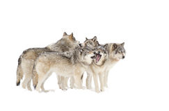Timber wolves or grey wolves (canis lupus) playing in the snow on a winter day in Canada royalty free stock images