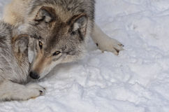 Timber Wolves Playing Royalty Free Stock Images