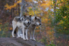 Timber wolves or grey wolves (Canis lupus) on rocky cliff in autumn in Canada royalty free stock image