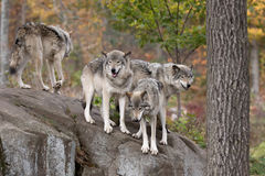 Timber wolves on rocky cliff Stock Photos