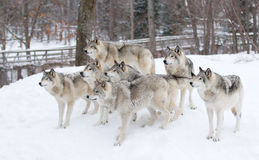 Timber wolves waiting to be fed Royalty Free Stock Photos