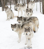 Timber wolves in a white snowy background Royalty Free Stock Images