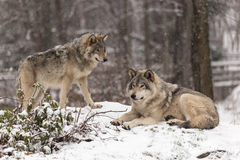 Timber wolves in a winter scene. With snow Royalty Free Stock Photography