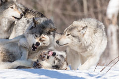 Timber wolves in a winter scene Royalty Free Stock Images