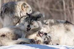 Timber wolves in a winter scene Stock Photo
