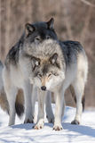 Timber wolves in a winter scene Stock Image
