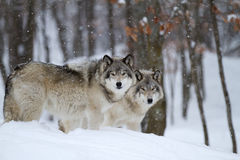 Timber wolves or grey wolves (canis lupus) in the winter snow in Canada stock images