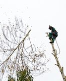 Timber worker climbing on a birch tree Stock Image