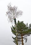 Timber worker climbing on a birch tree Royalty Free Stock Images