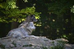 timberwolf的画象 库存图片