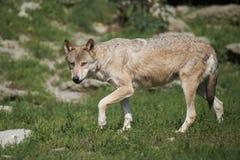 timberwolf的画象 免版税库存图片