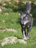 timberwolf的画象 库存照片