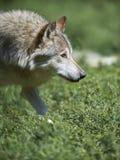 timberwolf的画象 免版税库存照片