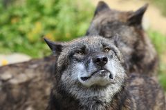 Timberwolf Stock Images
