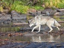 Timberwolf Lizenzfreie Stockfotografie