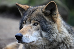 Timberwolf Royalty Free Stock Images