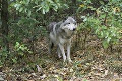 Timberwolf, der aus Holz herauskommt Stockfotos