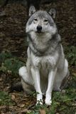 Timberwolf, der Kamera betrachtet Lizenzfreie Stockfotos