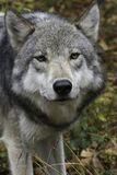 Timberwolf, der Kamera betrachtet Stockfoto