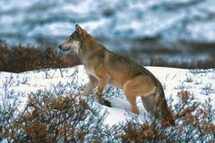 Timberwolf oder grauer Wolf Lizenzfreie Stockfotos