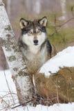 Timberwolf starren unten an Lizenzfreie Stockbilder