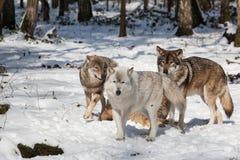 Timberwolfsatz im Winterwald Stockfotografie