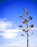 Time. A dead yucca plant with clouds curcling behind Royalty Free Stock Photo