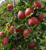 Time of the apple harvest Stock Images