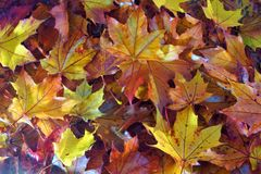 The time of autumn. Autumn wreath of beautiful colorful maple leaves. royalty free stock photos